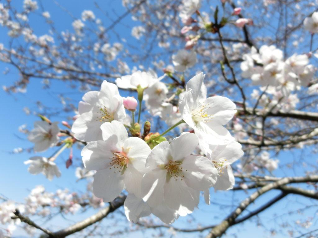 Sacred garden cherry blossoms