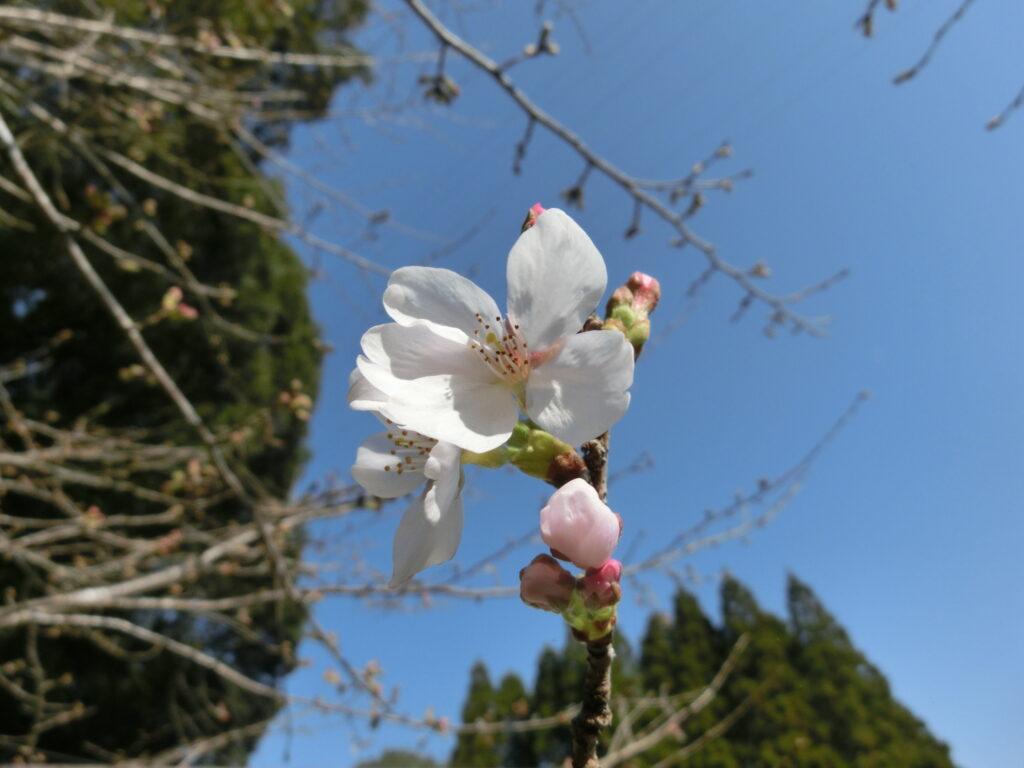 霊園のソメイヨシノ開花